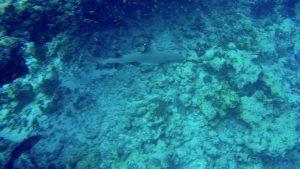 Ein Weißspitzen-Riffhai wie dieser kann auf den Malediven beim Tauchen, aber auch beim Schnorcheln und Stand Up Paddling angetroffen werden! Foto: Sascha Tegtmeyer