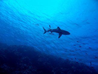 Haie im Mittelmeer: Welche Arten kommen vor? Geht eine Gefahr für Urlauber von den Raubfischen aus? Foto: Pixabay